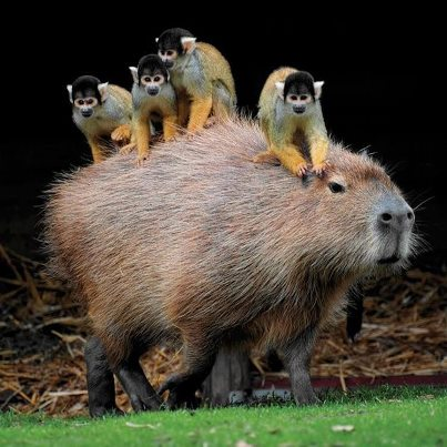squirrel monkeys ride capybaras