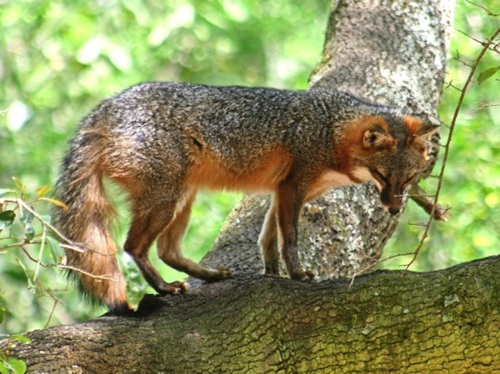 A West Virginia gray fox in a tree. Source for photo.