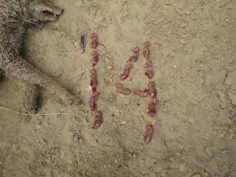coyote fetuses