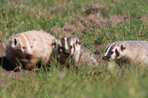 cream-colored american badger