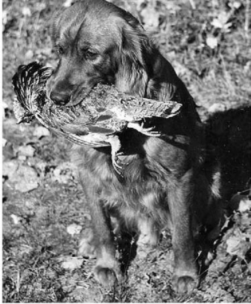 featherquest Rocky with grouse