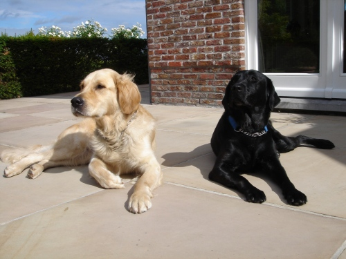labrador and golden retriever