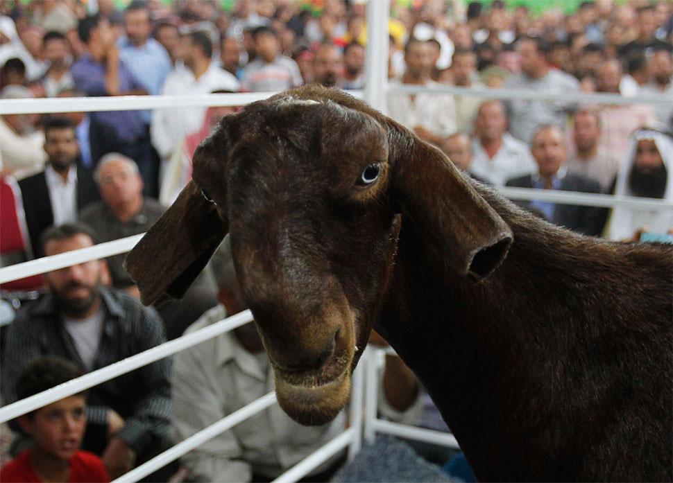 Damascus goat | Natural History