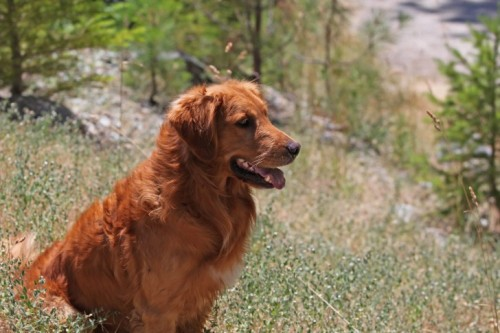 twenty first century wavy-coated retriever