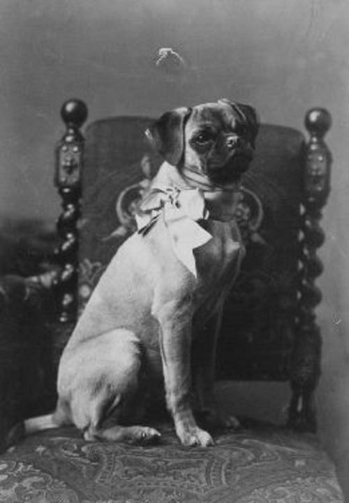 1890's pug