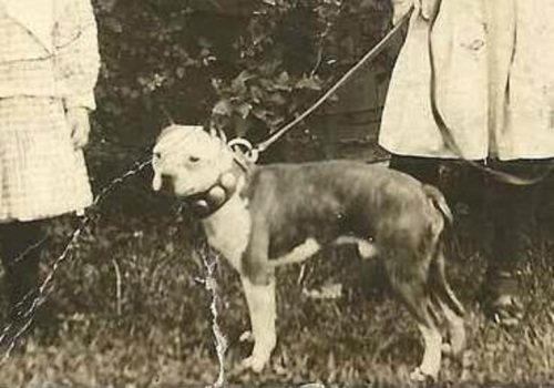 A Boston terrier from the early 1900's. Photo courtesy of Nara U.