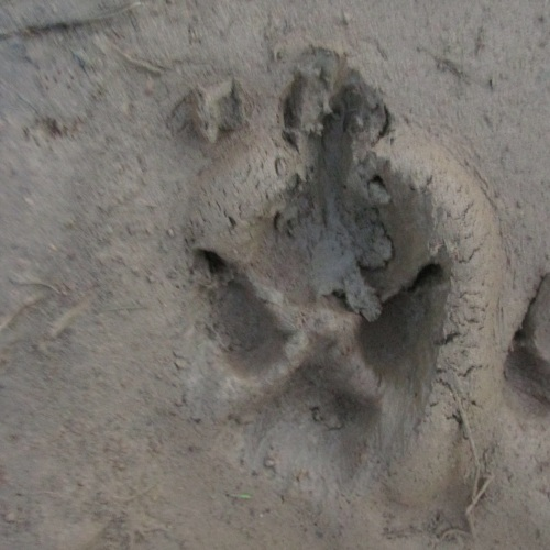 These were huge dog tracks, but they were unlike any dog I'd ever ...