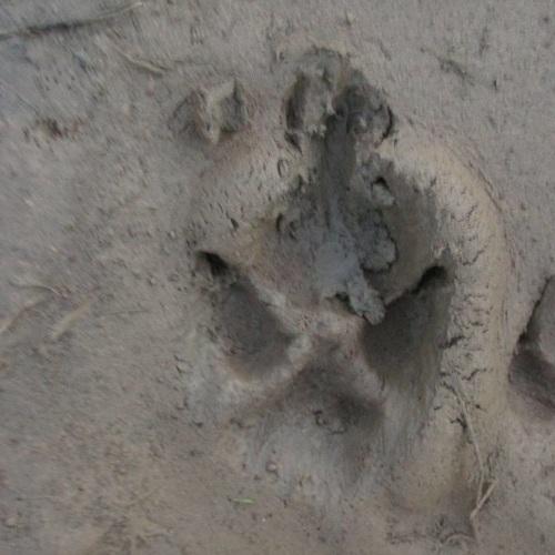 devil dog track