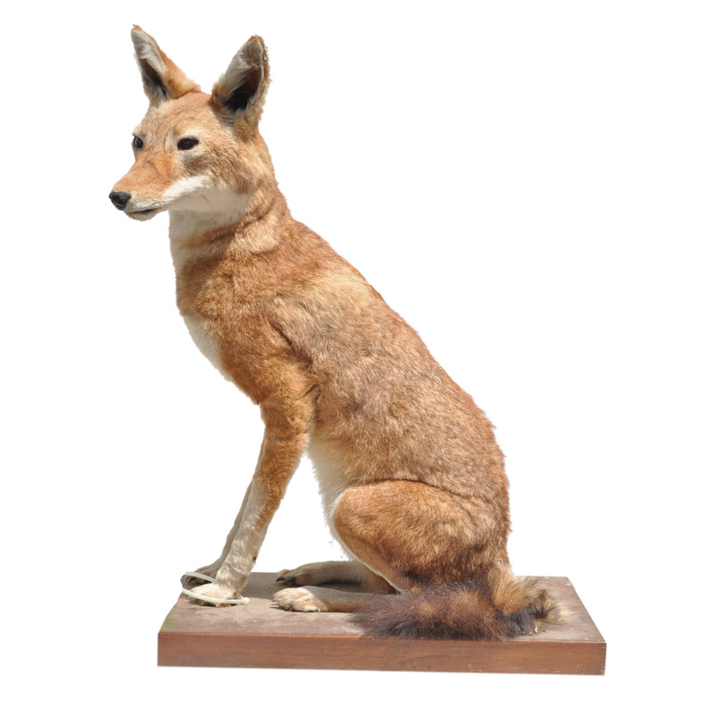 ethiopian wolf taxidermy