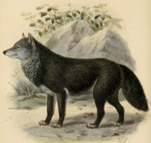 Keulemans wolf
