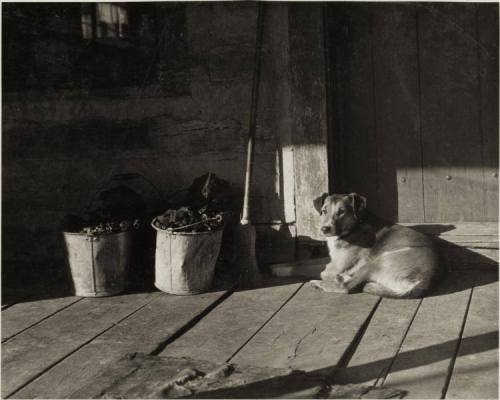 Pennsylvania shepherd dog 1920's