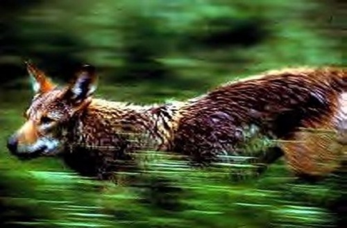 red wolf on the run