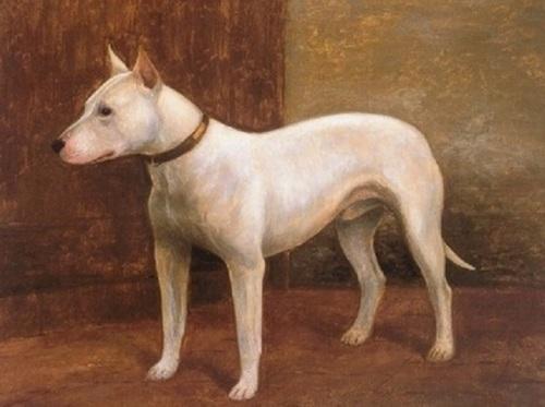 1901 bull terrier.
