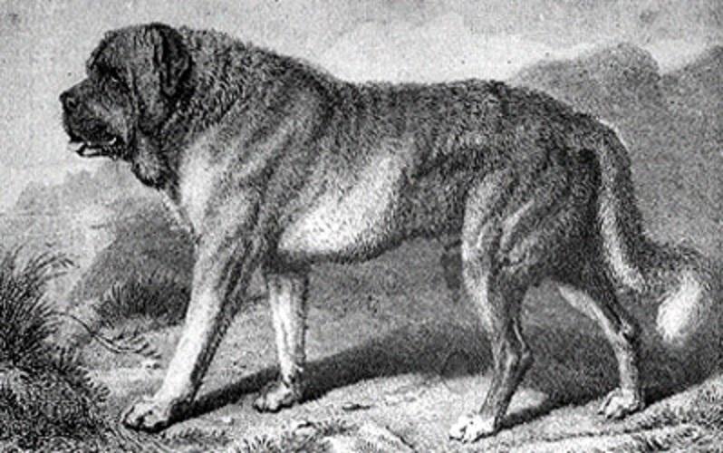 Alpine Mastiffs Natural History