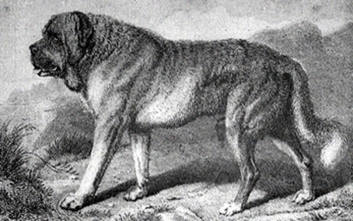 alpine mastiff 1