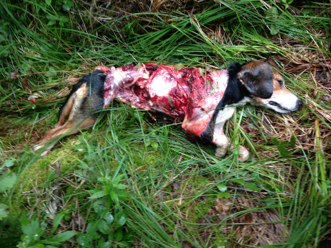One of the beagles killed by wolves. Source for image.