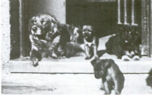 From David Brian Plummer's The Fell Terrier.  I think these dogs were owned by a man named Cyril Breay.