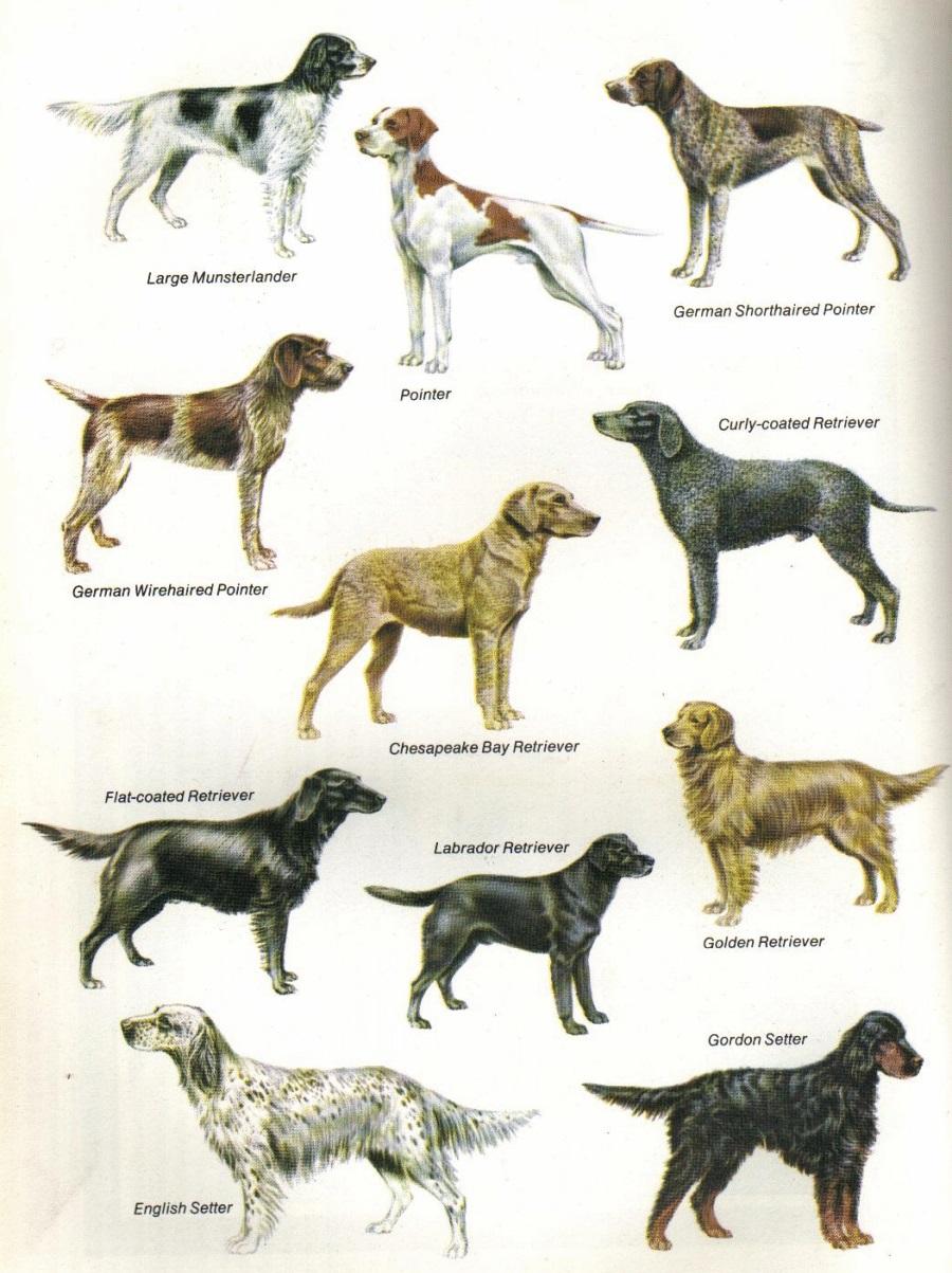 various gun dogs natural history pheasants clipart peasant clipart
