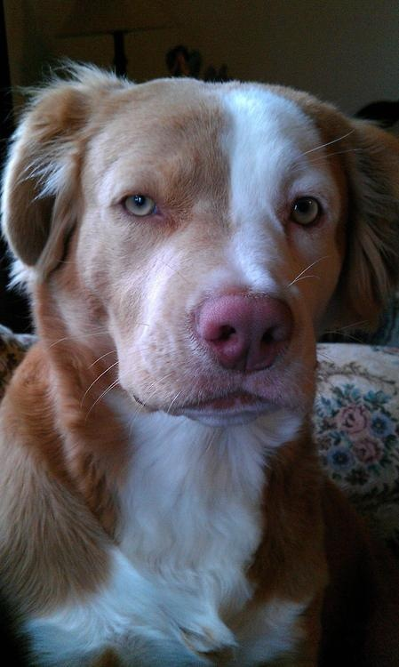 Supposedly, a pit bull/golden retriever mix | Natural History