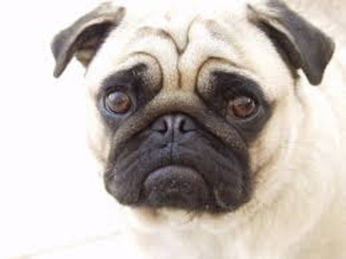 pug defect