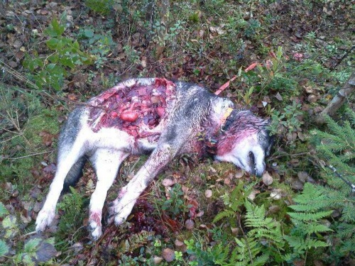 swedish elkhound killed by wolves
