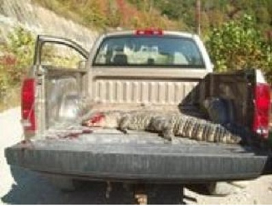 Alligator killed in a river in southern West Virginia