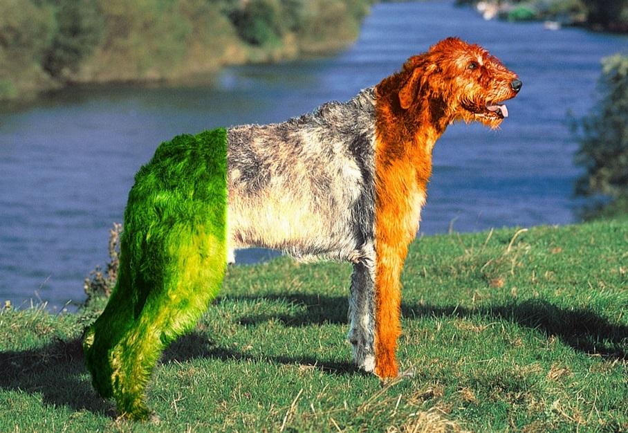 Irish Wolfhound The Retriever Dog Wildlife Blog | Dog Breeds Picture