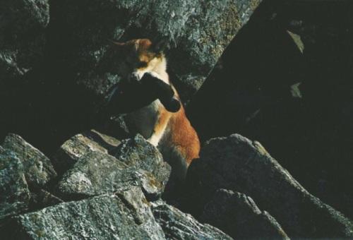 lundehund puffin