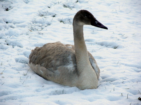 trumpeter swan west virginia