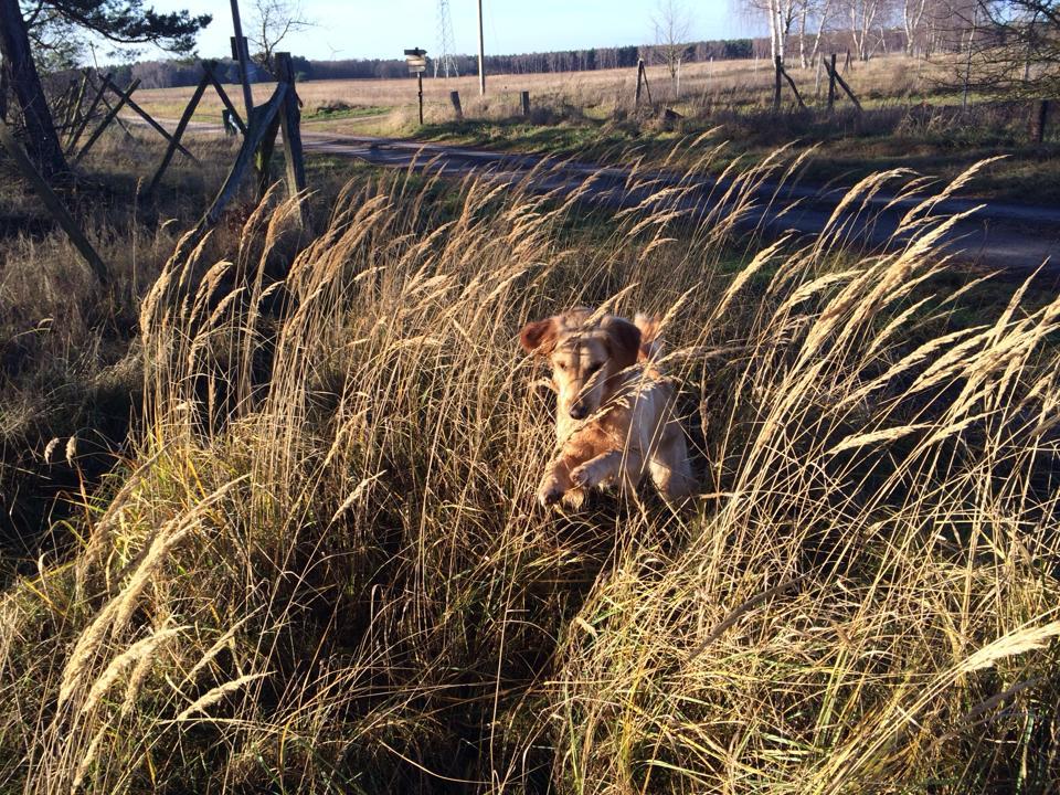 Golden Retriever Pounce Natural History