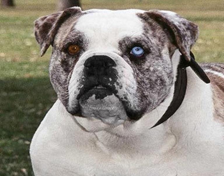 Alapaha Blue Blood Bulldog Natural History