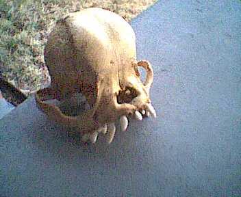 brachycephalic