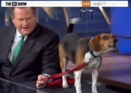 ed schultz beagle
