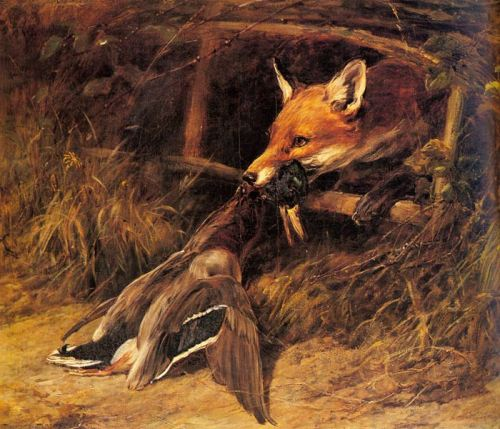 fox killing mallard