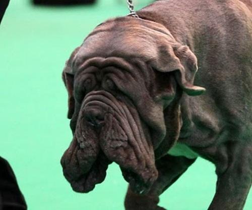 Jemima Harrison Neapolitan mastiff