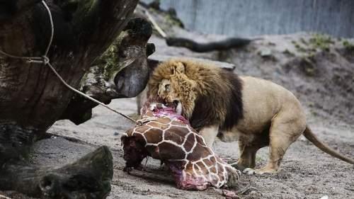 marius feeding the lions
