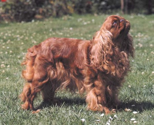 ruby English toy spaniel