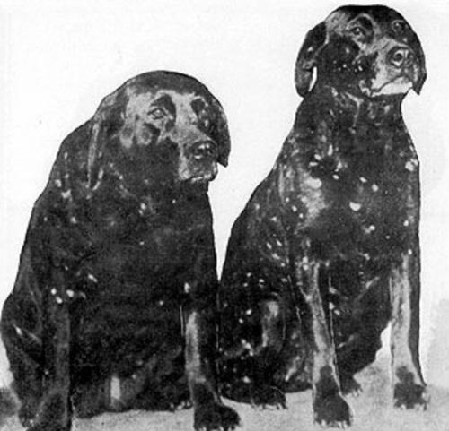 Hailstone Labradors
