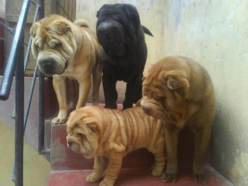 sharpei julius IV