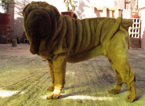 sharpei juliuss II