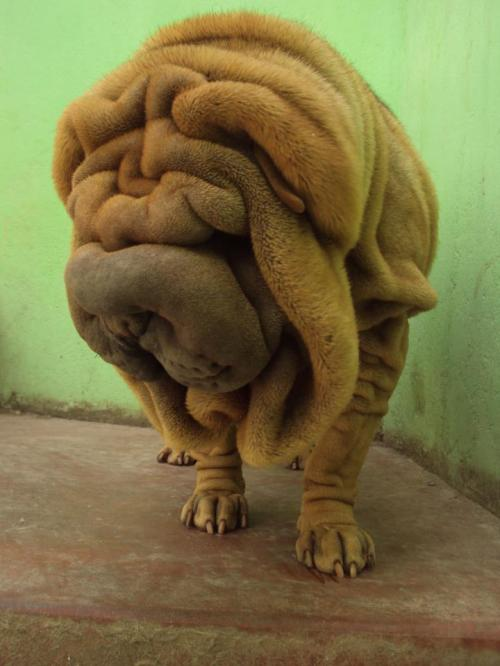 sharpei juliuss
