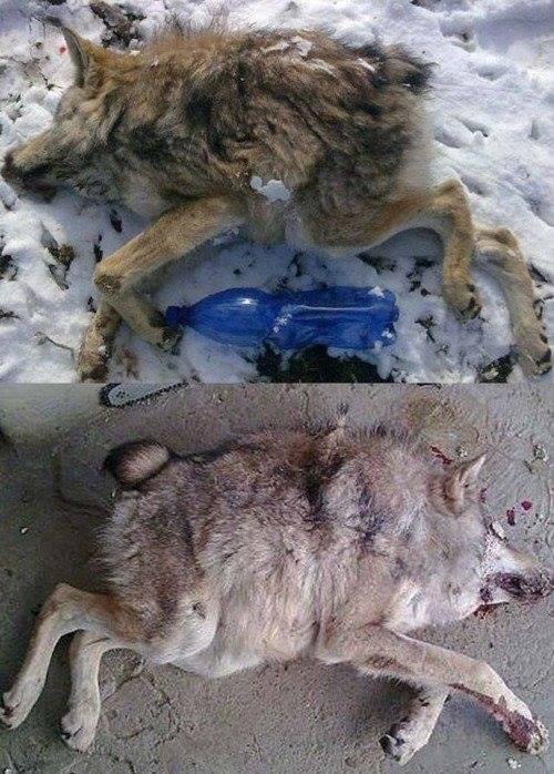 short spine wolf