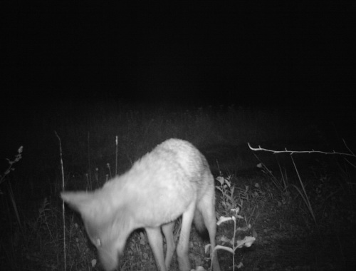 close up of wv coyote