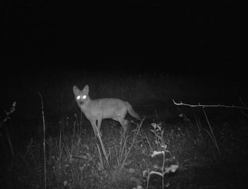 WV coyote 1