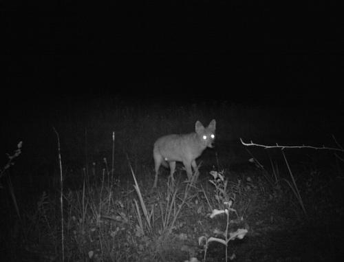 wv coyote 2