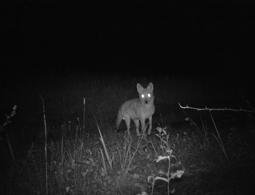 wv coyote 3