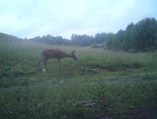 deer II trail cam