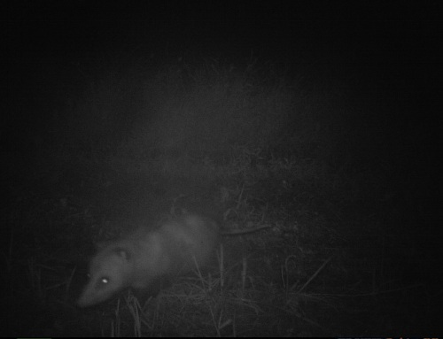 old opossum I