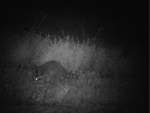 raccoon out frogging ii