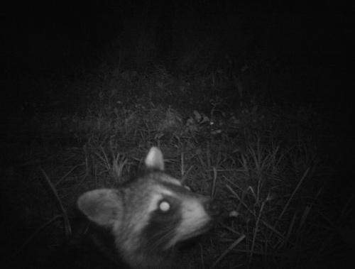 raccoon selfie